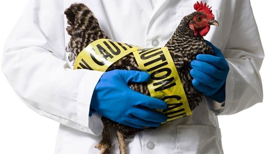 ВКитайской народной республике снова возникла угроза эпидемии птичьего гриппа